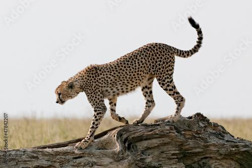 Photographie Serengeti cheetah
