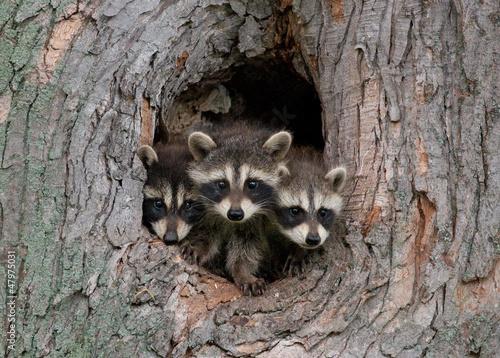 Canvas Print Three Raccoons