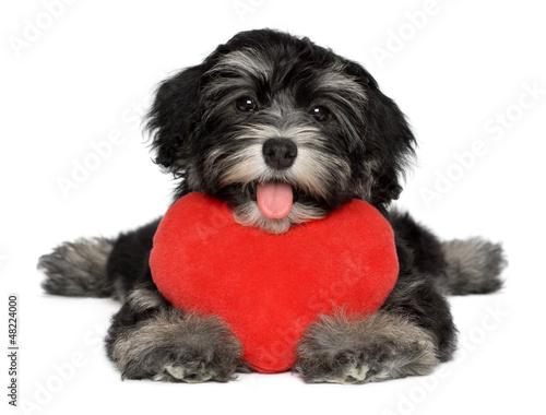 Valokuva Lover Valentine Havanese puppy dog with a red heart