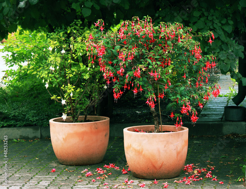 Canvas-taulu Standard (tree) Fuchsia plant