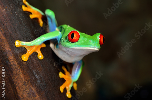 Obraz na płótnie Green tree frog (Agalychnis callidryas) with red eyes, close-up