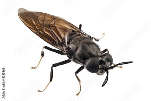black soldier fly species Hermetia illucens