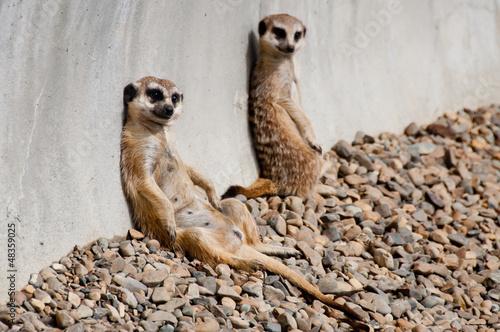 Fotografia Meerkats sunbathing