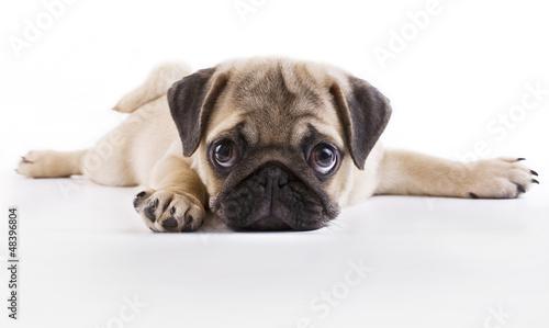 Photo Pug puppy