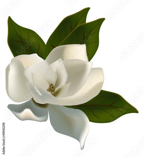 Fototapeta single magnolia flower isolated on white