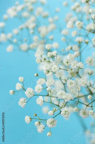 Gypsophila (Baby's-breath flowers)