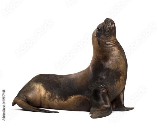 Fototapeta premium California Sea Lion, 17 years old, looking up