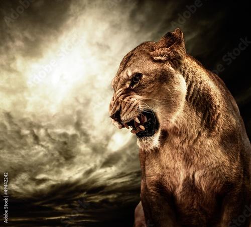 Fotografia Roaring lioness against stormy sky