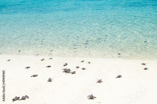 Fotografia, Obraz Little baby turtles on their way to the sea
