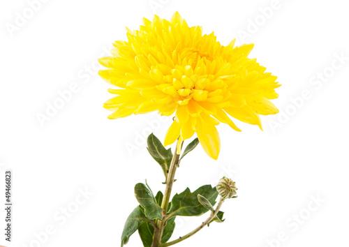 Carta da parati yellow chrysanthemum isolated