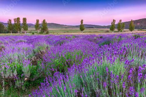 Naklejka premium Zachód słońca nad letnim polem lawendy w Tihany, Węgry