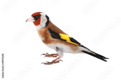 Valokuva goldfinch