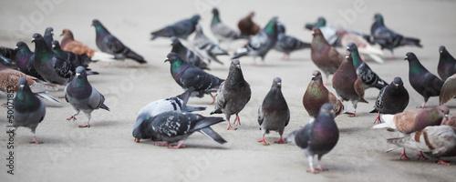 Foto Pigeons