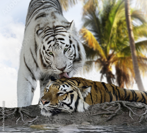 Canvas Print White And Brown Tigers