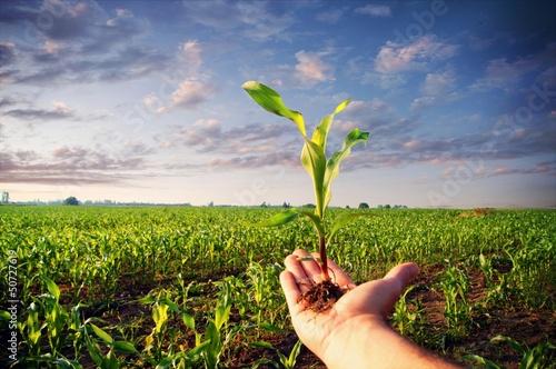 Fotografia Ręka trzyma kukurydzanej rośliny
