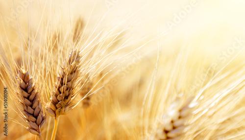 Obraz na płótnie Wheat field