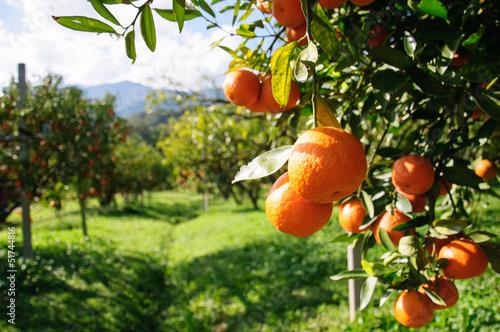 Canvas Print Orange tree