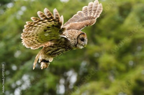Fotografie, Obraz Tawny Owl flying