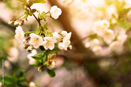 blooming plum tree brunch