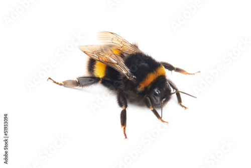 Fotomural bumblebee isolated on the white background