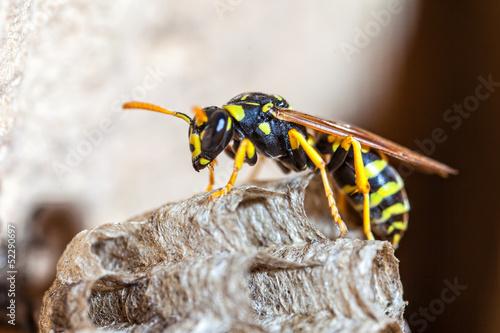 Paper Wasp Queen Tapéta, Fotótapéta