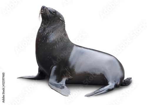 Brown fur seal