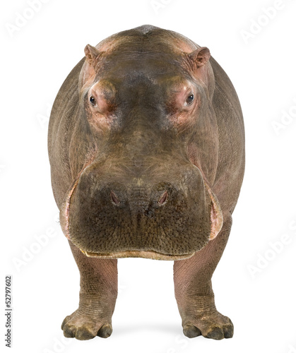 Fotografia, Obraz Hippopotamus, Hippopotamus amphibius, facing the camera