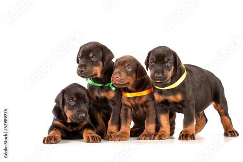 Fotografia Group of dobermann puppies