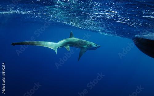 thresher shark swimming in ocean underwater
