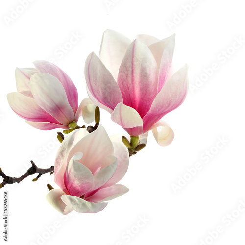 Fotografie, Obraz smell of magnolia