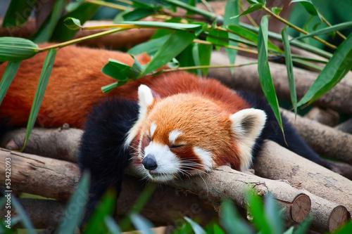 Fototapeta Red panda (firefox)