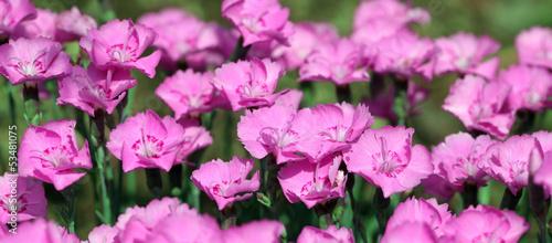 Wide photo of maiden pink Dianthus Alpinus plant #53481075