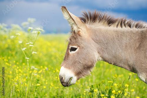 Grey donkey in field Fototapeta