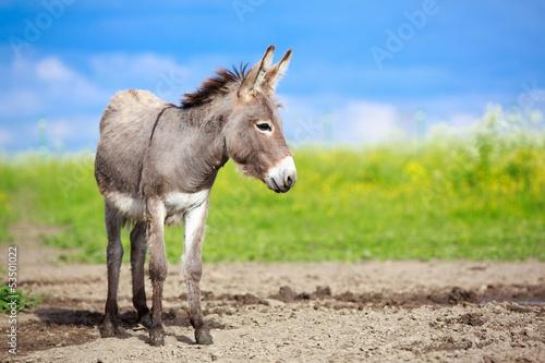 Photo Grey donkey in field
