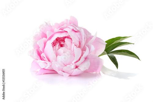 Carta da parati Beautiful pink peony on a white background