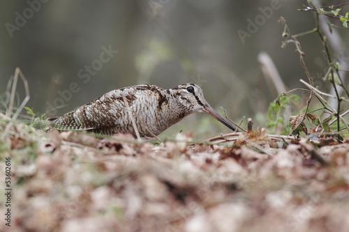 Fotografia Woodcock, Scolopax rusticola