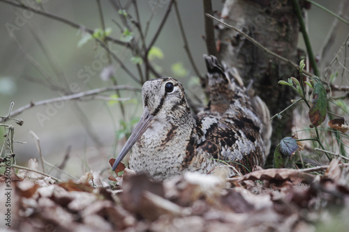 Woodcock, Scolopax rusticola Fototapeta