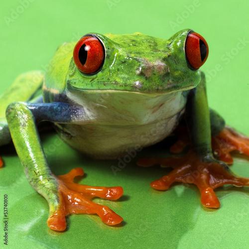 Fotografia red eyed treefrog macro isolated exotic frog curious animal brig