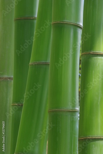Fototapeta premium Zielony bambus