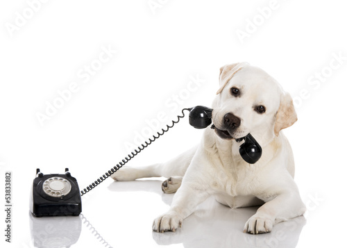 Labrador answering a call Fototapeta