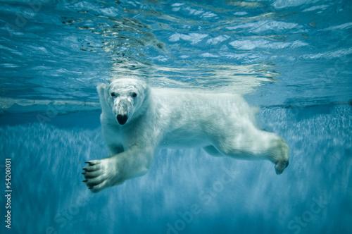 Swimming Thalarctos Maritimus (Ursus maritimus) - Polar bear