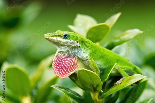 Obraz na plátně Green Anole lizard (Anolis carolinensis) showing off pink dewlap