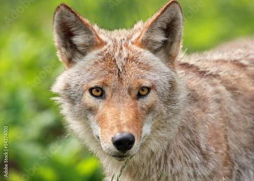 Photo portrait d un coyote