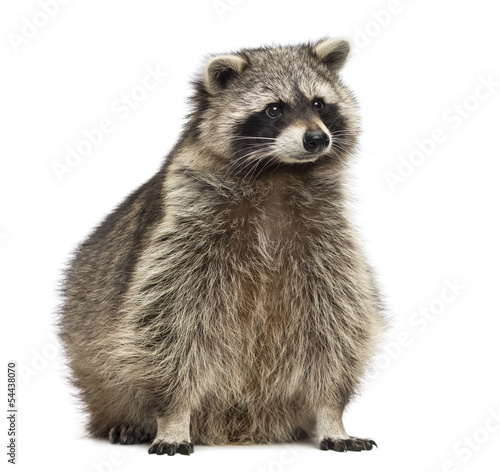 Racoon, Procyon Iotor, sitting, isolated on white