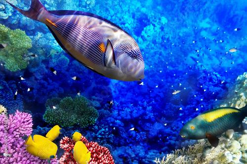 Fototapeta Koral i ryby w Morzu Czerwonym, Egipt do pokoju