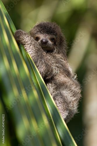 Fototapeta baby three-toed sloth in Costa Rica