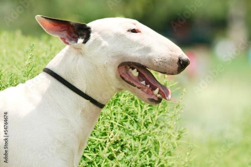 Carta da parati Pit Bull Terrier portrait