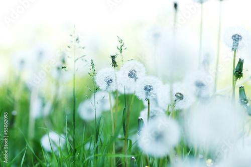 Fototapeta Białe mlecze na zielonej trawie o poranku ścienna