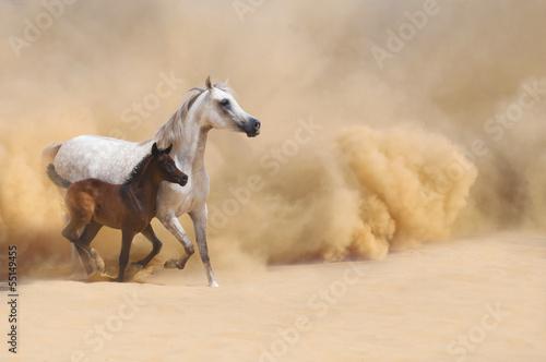 Arabian Mare and foal galloping in desert #55149455
