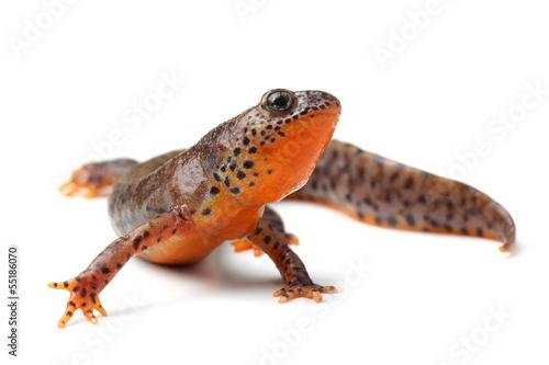 Stampa su Tela Carpathian newt (Lissotriton montandoni) on white